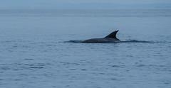 Dolphin (wigerl - herwig ster) Tags: dolphin opatija meer europa kroatien swimm licht holiday light meerwasser foto 2017 blue zahnwal blau fujilove fuji säugetier mare fujixt1 europe delfin croatia