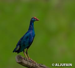 _DX27288 (ALJUFAIN KUWAITI) Tags: wasit uae kuwait purple aljufain waleed wildlife