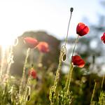 Poppies in the morning sun thumbnail