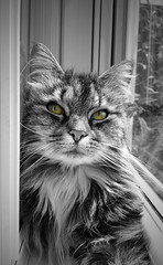 Daydreaming (Andy Tee) Tags: cat kitten feline face selective colour black and white domestic pretty cute