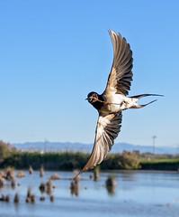 Swallow in flight (keith27a) Tags: birds fauna naturesubjects swallow d750 flight bird spain ebro delta catalonia