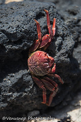 Makapu'u Tide pools 2 (venusnep) Tags: makapuutidepools makapuu tide pools tidepools photographytour photography tour oahu hawaii travel travelphotography may 2017 nikond610 nikon d610 crab crabshell