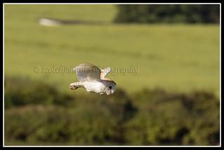 IMG_0265 Barn Owl