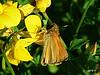 Small/Essex Skipper butterfly. (postman.pete Thanks for 2m Views) Tags: hwcp bokeh lumix macro taskday hillyfields smallessex skipper butterfly colchester