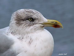 IMG_0014 (Jackie Hall 70) Tags: gull bird
