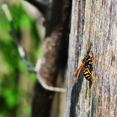 Beautiful Beast | Schönes Biest (Silke Klimesch) Tags: 7dwf fauna macro wasp wespe yellowjacket vespulagermanica vespulavulgaris guêpe vespa avispa hveps veps geting tyskgeting ampianen saksanampiainen osa viespe σφήκα eşekarısı оса́ 黄蜂 dof makro makrofotografie schärfentiefe profondeurdechamp profundidaddecampo mzuikodigitaled60mm128macro olympus omd em5 microfourthirds berlin britzergarten
