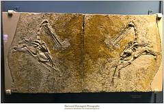 Pterosaur Fossil with Reflection Photobomb (Sherwood Harrington) Tags: californiaacademyofsciences sanfrancisco goldengatepark pterosaur fossil