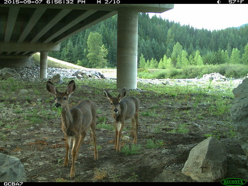 "Two deer walking under I-90 • <a style=""font-size:0.8em;"" href=""http://www.flickr.com/photos/44104179@N02/35440387281/"" target=""_blank"">View on Flickr</a>"