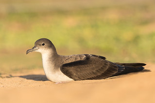 Wedge-tailed Shearwater / 'Ua'u kani (Ardenna pacifica) (light morph)