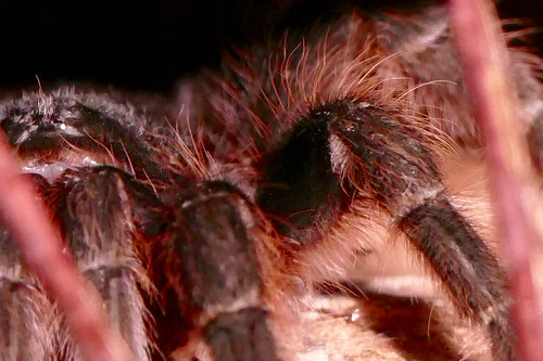 brazil-pantanal-caiman-lodge-tarantula-close-up-copyright-thomas-power-pura-aventura