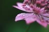 England 2017 (agnes.saabythomsen) Tags: roadtrip turmedjannik hardwickhall malfoymanor makro macro tætpå tætpånaturen blomster flowers drips drops regn rain pink lyserød