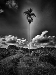 #one #alone #landscapephotography #nature #tree #trip #coconut #tropical #fresh #blackandwhite #blackandwhitephoto #bnw #bw (victor_erdi) Tags: one alone landscapephotography nature tree trip coconut tropical fresh blackandwhite blackandwhitephoto bnw bw