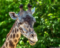 Dude, I'm pretty high off the ground. (Robert Streithorst) Tags: cincinnatizoo giraffe robertstreithorst zoosofnorthamerica