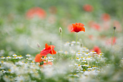 Poppies and Daisies (aveyardphotography) Tags: red poppy poppies daisy daisies white shallow soft focus yellow