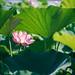 Lotus - Lotus Pond Park