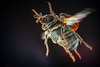 Valgus hemipterus female in flight (Hubert Polacek) Tags: insect scarabaeidae coleoptera beetle valgus hemipterus valgini flight flying ovipositor female insectactivity polarized polarizing studio backlight macro cetoniinae rosechafer slovakia scarab chafer antennae facetedeyes
