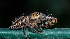 Fly Down! (chandra.nitin) Tags: animal deerpark diptera feeding fly insect macro nature prey salticidae spider newdelhi delhi india