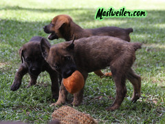 Ace, Tabasco and Snuffy, 8 Weeks (muslovedogs) Tags: mastweiler dog puppy rottweiler mastiff