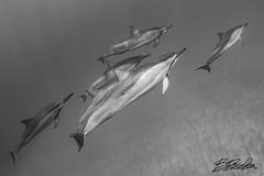 Dolphins down deep (bodiver) Tags: hawaii kailua blackwhite ambientlight wideangle fins freediving apnea sand snorkeling ocean