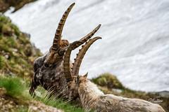 Wild Power (Riccardo Maria Mantero) Tags: mantero riccardo maria fighting horns ibex ibexes wildlife riccardomantero riccardomariamantero