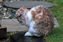 TEENAGE MUTANT HEDGEHOG RABBIT OR PRAYING RABBIT? TAKE YOUR PICK HE'S STILL A HERO (I was blind now I see!) Tags: hedgehog rabbit pray praying wet rain fur paws paw eye ear coat foot bunny bunnies cute cutie