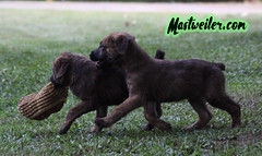 Ace & Piper, 8 Weeks (muslovedogs) Tags: mastweiler dog puppy rottweiler mastiff