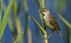 Sedge Warbler - He warbled but I hope we got the right one (Ann and Chris) Tags: avian birdwatching birdphotography birding bird birders canon cute feathers gorgeous hunting wildlife nature outdoors stunning wild wildllife