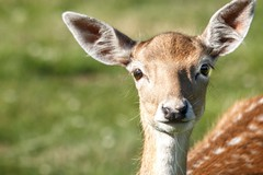 Those Eyes! (ianderry64) Tags: england leicester park bradgate nature wildlife mammal light sunshine young stag doe fallow bambi whiskers cert calf deer cute beautiful eyes