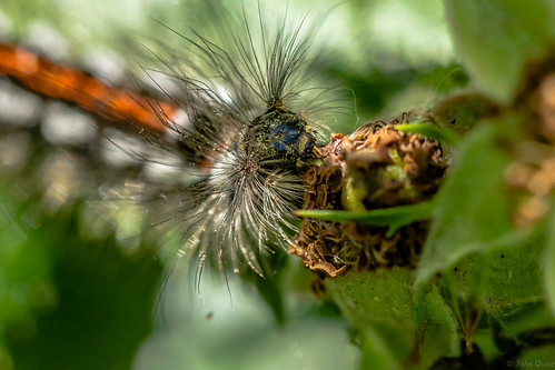 Yellow-tail moth caterpillar- Euproctis similis