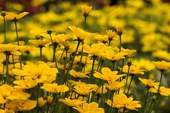 MILLE FIORI GIALLI. (FRANCO600D) Tags: fiori fiorigialli colore canon eos600d franco600d