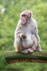 2017-07-02-14h47m52.BL7R2935 (A.J. Haverkamp) Tags: canonef100400mmf4556lisiiusmlens amsterdam noordholland netherlands zoo dierentuin httpwwwartisnl artis thenetherlands japansemakaak japanesemacaque nl