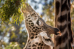 Still a Reach (helenehoffman) Tags: africa roho conservationstatusvulnerable masaigiraffe sandiegozoo giraffe kilimanjarogiraffe mammal giraffatippelskirchi animal