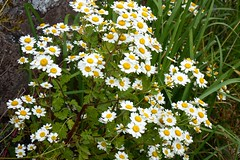 Feverfew (nz_willowherb) Tags: scotland wormit stfort farm feverfiew tanacetumparthenium