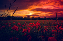Sunset & Poppies (spiderstreaky) Tags: fresh sky delightful beauty colour natural close poppies lightroom nikon detail vivid golden shadow flower goldenhour sunshine evening red delicate cotswold season colourful sundown cloud beautiful big sunset landscape flowers bigsky cotswolds clear bright countryside wildlife poppy field british
