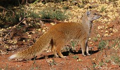 Yellow Mongoose (2) (Richard Collier - Wildlife and Travel Photography) Tags: wildlife naturalhistory mammals southernafrica southafrica yellowmongoose sunrays5 coth5 ngc