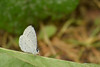 Summer Azure Butterfly (turn off your computer and go outside) Tags: 2017 albanywildlifearea butterfliesofthemidwestbyjaretcdaniels greencounty june sugarriverstatetrail summerazure wi wisconsin bluebutterfly butteryfly critter identified insect latespring nature niceweather outdoors partlycloudy