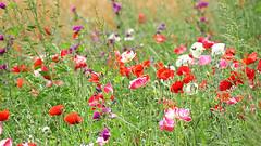 Audrey Hepburn — 'To plant a garden is to believe in tomorrow.' (genevieve van doren) Tags: popies coquelicots field champs flowers fleurs nature