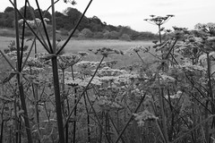 Victorian Invader (JP Photography74) Tags: hogweed white victorian nonnative uk england wildflower nature outdoors monochrome canon sigma