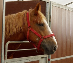 Suffolk Punch at the Kent County Show....archiving (favmark1) Tags: saturday 2017 detling kentcountyshow