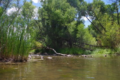 dead horse ranch state park, july 10 (EllenJo) Tags: pentaxk1 july 2017 ellenjo arizona verdevalley deadhorseranchstatepark verderiver cottonwood summerinarizona az river riparian 86326