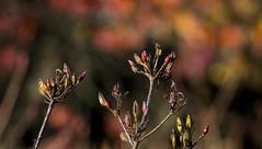 Azalea buds (Ian@NZFlickr) Tags: gardens dunedin nz azalea
