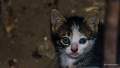 Itty bitty kitty (Milen Mladenov) Tags: 2017 animal blueeyes cat cute domestic ears fellow furry kitten kitty little small summer white