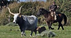"Questa è ""Maremma"" - This is ""Maremma"" (Jambo Jambo) Tags: buttero cowboy vacche cows mandria herd parcoregionaledellamaremma parco park alberese grosseto maremma maremmacountryside maremmatoscana toscana tuscany italia italy cavallo horse nikond5000 jambojambo"
