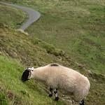 The daredevil sheep at Quiraing, Scotland thumbnail