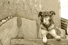 Atento (Gaby Fil Φ) Tags: sancristóbalelcuzco perros perroscallejeros cusco qosqo cuzco perú sudamérica canes