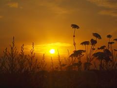 WONDERFUL SUNRISE WITH SILHOUETTEN OF WILD FLOWERP7098390 (hans 1960) Tags: golden licht light outdoor himmel sky gräser flower nature natur silhouetten farben colour juli sunday sonntag