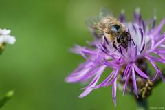 DSC_5811 (Marlon Fried) Tags: macro natur nature insekt insect wiese meadow flower blüte biene bee flockenblume