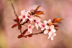 Pink flower (renátaszél-nagy) Tags: sigma flower pink beauty spring plant macro blossom nature photography flowers hungary lovely calmness nikon d3200
