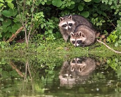 ImLookingThroughYou (jmishefske) Tags: greenfield wisconsin pond 2017 nikon lagoon westallis park raccoon kits july kids milwaukee d500 county cubs