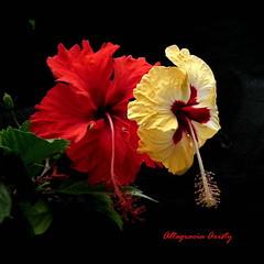 Hibiscos Gemelos/Twins Hibiscus (Altagracia Aristy Sánchez) Tags: hibiscos hibiscus laromana quisqueya repúblicadominicana dominicanrepublic caribe caribbean caraïbe antillas antilles trópico tropic américa fujifilmfinepixhs10 fujifinepixhs10 fujihs10 altagraciaaristy hibisco twins gemelos